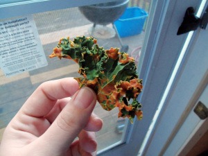 Image 15 3 - All You Need To Know About Kale Chips